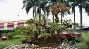"""Đỗ quyên bonsai 'xuống phố"""", giá gần 1 tỷ vẫn nhiều người săn lùng"""