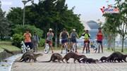 Xem rái cá tung tăng đi lại trên phố Singapore