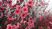 Đào Nhật Tân bung nở rực rỡ cận Tết, người trồng hoa khóc ròng