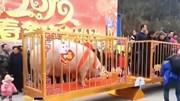 Lợn khổng lồ nặng gần 1 tấn, 24 người khiêng mới xuể