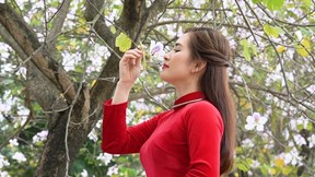Thiếu nữ Hà thành mê mải với hoa ban nở sớm giữa lòng thành phố
