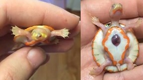 Chú rùa nhỏ bé có 'trái tim đập bên ngoài lồng ngực' gây xúc động