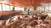 Lan tin đồn dịch tả lợn, thương lái ép giá khiến người dân lao đao