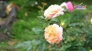 Khám phá vườn hồng 60 tỷ lớn nhất Việt Nam