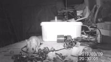 Con chuột đáng yêu bận rộn dọn dẹp dụng cụ cho cụ ông suốt đêm