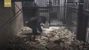 Chú tinh tinh tự quét dọn chuồng bằng chổi
