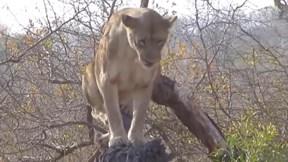 Sư tử suýt bỏ mạng khi bị trâu rừng 'đánh hội đồng'