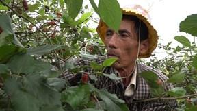 Nông dân hối hả thu hoạch dâu tằm, kiếm tiền triệu mỗi ngày