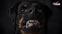 7 giống chó nhập ngoại hung dữ và nguy hiểm ở Việt Nam