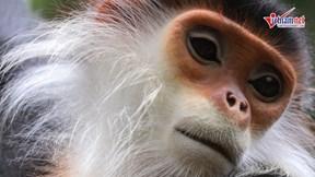 Khám phá 'nữ hoàng linh trưởng' trên bản đảo Sơn Trà