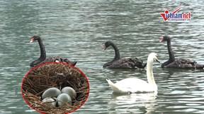 Đàn thiên nga ở hồ Thiền Quang liên tục đẻ trứng