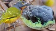 Đến rắn cực độc cũng bị loài chim này hành hạ đến chết