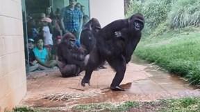 Gia đình khỉ đột 'sợ bị ướt' tìm chỗ trú mưa gây sốt cộng đồng mạng
