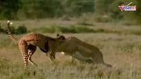 Báo mẹ dẫn 2 con đi săn bị linh dương húc thủng bụng