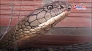 Cận cảnh cặp rắn hổ khổng lồ ở miền Tây
