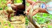 Cận Cảnh cho rắn hổ mang chúa uống nước