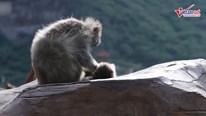 Khỉ mẹ đau đớn ôm con đã chết khiến người xem rơi lệ