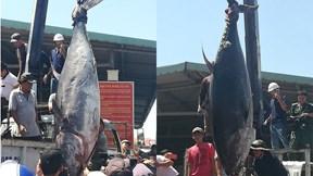 Ngư dân Phú Yên câu được cá ngừ khổng lồ nặng gần 4 tạ