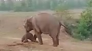 Cảm động voi mẹ Ấn Độ nhất quyết không bỏ lại voi con bị ốm