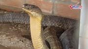 Du khách kéo về xem cặp rắn hổ mây ở An Giang: 1 con có dấu hiệu thay da