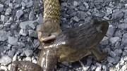 Ếch chết hồi sinh sau khi ra khỏi bụng rắn