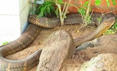 Thả cặp rắn hổ mây gây xôn xao ở An Giang về tự nhiên