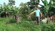 3 sào hồng xiêm và mít ở Hưng Yên bị kẻ gian chặt trơ gốc sau 1 đêm