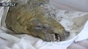 Phát hiện đầu sói còn nguyên bộ não cách đây 4.000 năm