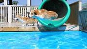 Công ty Trung Quốc chơi trội, bao trọn bể bơi 1.000m2 cho chó giảm mỡ