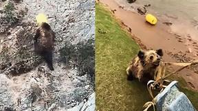 Mải kiếm ăn, gấu bị mắc kẹt đầu vào xô nhựa
