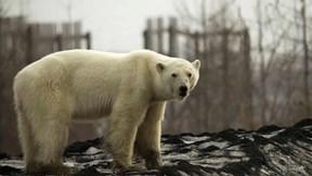 Gấu bắc cực đi lạc, lang thang trên đường phố ở Nga