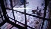 Phát hoảng vì bị bầy khỉ quây đánh ngay trước cửa nhà