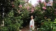 Đường hoa tường vi dài nhất Hà Nội: điểm check-in 'ăn khách' tháng 7