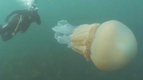 Nữ thợ lặn bất ngờ đụng phải sứa thùng khổng lồ, to hơn cơ thể người