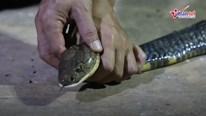 Rắn hổ mang chúa dài hơn 3m vào nhà dân bắt gà