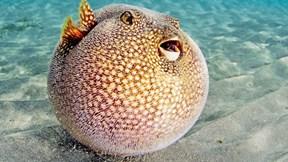 Ăn vào có thể chết trong tích tắc, tại sao cá này vẫn có giá 'trên trời'?