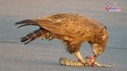 Xem đại bàng mổ bụng rắn phì kịch độc giữa đường