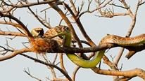 Xem rắn vắt mình trên ngọn cây cao để ăn thịt chim non