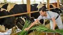 Xây nhà lầu, tậu xe sang, trở thành tỷ phú nhà nông nhờ nuôi bò sữa