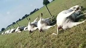 Hàng chục con bò bị sét đánh chết la liệt
