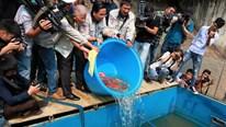50 con cá Koi Nhật Bản được thả xuống sông Tô Lịch