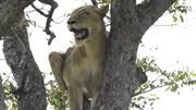 Sư tử 'chịu nhục' trước bầy linh cẩu và màn truy sát trả thù đáng sợ