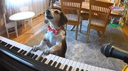 Chú chó tự chơi đàn piano và 'hát' gây sốt cộng đồng mạng