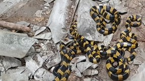 Thợ rắn tay không bắt sống 10 con cạp nong trong nhà hoang