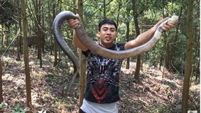 Bắt sống rắn hổ mang nguy hiểm dài gần 2m trên đường đi học
