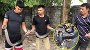Bắt sống rắn hổ mang chúa dài 3m cắn bà cụ 75 tuổi phải cấp cứu
