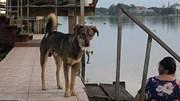 Chú chó ngày ngày ra bến đò chờ chủ vì bị lạc sau khi rơi xuống sông