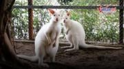 Chiêm ngưỡng chuột túi wallaby lần đầu tiên xuất hiện ở Hà Nội
