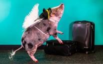 Đào tạo lợn làm 'bác sĩ' chữa bệnh cho hành khách ở sân bay