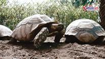 Cận cảnh rùa Sulcata 'siêu to khổng lồ' có giá gần 100 triệu ở Hà Nội